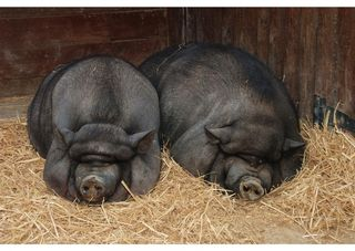 Pigs of a Feather